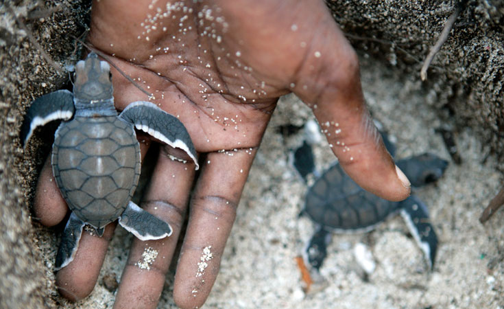 baby_turtles_hatching