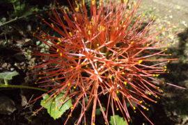 Ngong Flower tick
